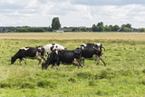 Agriculture. Cows graze in a meadow near the village. - 213269876