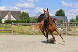 séance de longe au manège avec cheval bai - 213271422