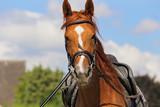 séance de longe au manège avec cheval bai - 213271435