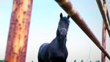 The obstinate dark horse in the paddock under the open sky. The horse shows his temper - 213279454