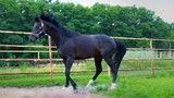 Dark beautiful horse takes off and runs down the paddock outdoor. The horse shows his temper - 213279678