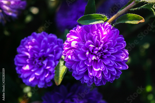 Violet flowers of asters blossom in the garden. Aster. - 213283039