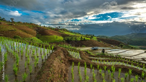 Wall mural Green Paddy Field
