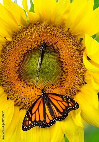 Monarch Butterflies on Sunflower