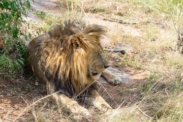 Old Sleepy Lion