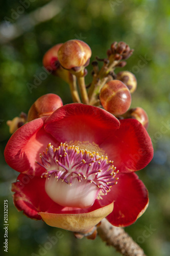 Rose pebbled flower with tentacles against green natural background - 213321275