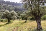 Olive Trees - 213322892