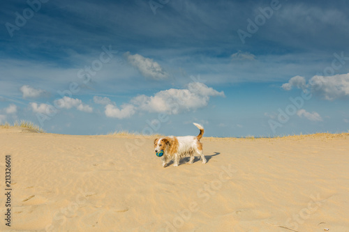 Fotobehang Noordzee Brave little stray dog with blue ball walk through sand drifts in the dunes along the beach against deep blue skies with scattered clouds
