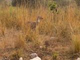 Morgendlicher Ausflug in den Corbett Nationalpark in Uttarakhand Indien