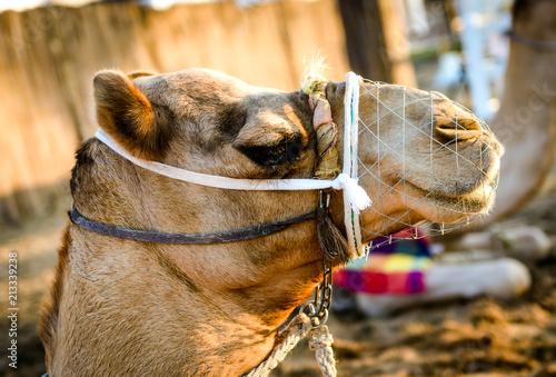 Fotobehang Kameel Camel Desert Animal