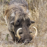 common warthog in Kruger National park, South Africa ; Specie Phacochoerus africanus family of Suidae - 213343085