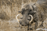 common warthog in Kruger National park, South Africa ; Specie Phacochoerus africanus family of Suidae - 213343289