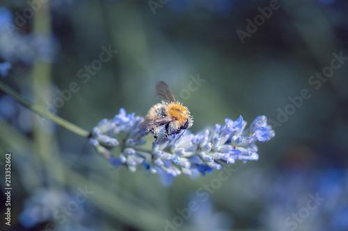 Canvas Lavendel collecte de pollen