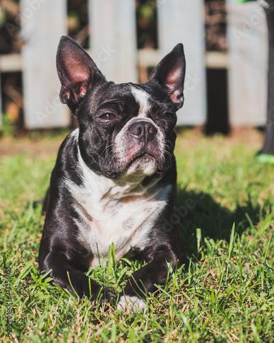 Foto Spatwand Franse bulldog boston doggy