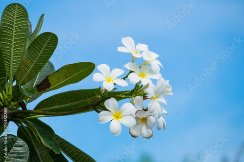 Plexiglas Plumeria Plumeria flower blooming with blue sky background.