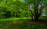 deep ancient beech forest in summer. beautiful silent scenery - 213361645