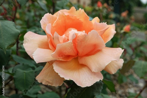 Foto Murales Luxurious rose of the peach color in the garden