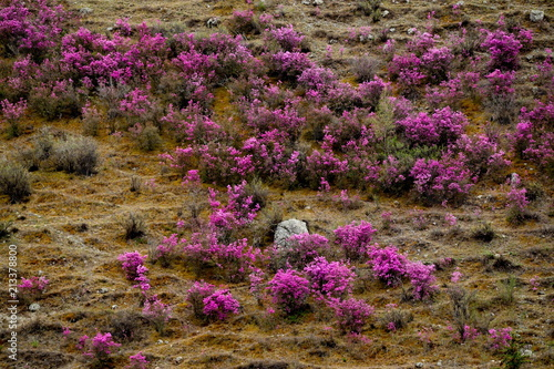 Fridge magnet Russia. Mountain Altai. Chuyskiy tract in the period of the flowering of Maralnik (Rhododendron).