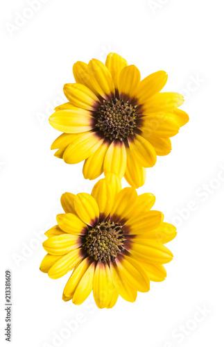 Osteosperumum Flower Daisy - 213381609