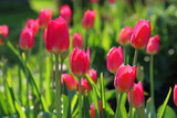 Red tulips on the flower bed in natural light - 213383268