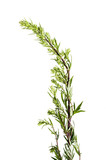 Artemisia vulgaris common weed - isolated on a white background - 213409441