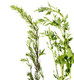 Artemisia vulgaris and Chenopodium album common weed - isolated on a white background - 213409485