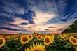 Sunflower field during sunset