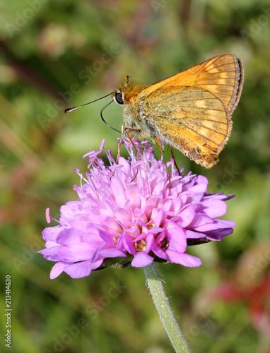 motyle (Ochlodes silvanus) na kwiat Knautia