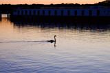 Swan on a lake at sunset