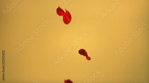 Real rose petals falling with a yellow background