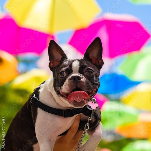 Foto Spatwand Franse bulldog Cute French Bulldog