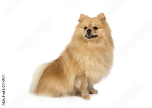 Lovely Pomeranian on a white background - 213447841