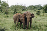 Elephant in the wildlife in Sri Lanka