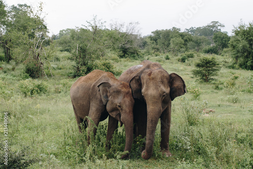 Elephant in the wildlife in Sri Lanka