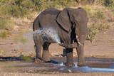 African elephant spraying water - 213450896