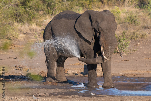 African elephant spraying water