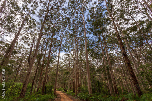 Canvas Betoverde Bos Landscape view of forestry track winding through a tall Karri Forest at Boranup in Western Australia.