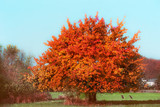Beautiful gorgeous tree with red autumn foliage at sky and country background - 213465671