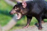 Tasmanian Devil Snarling - 213466000