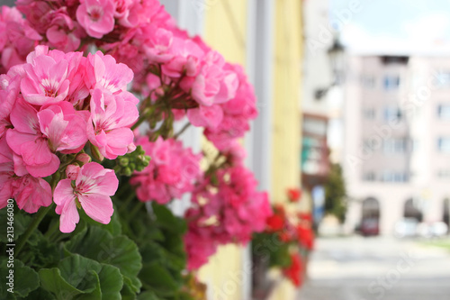 Flowering pink pelargonium in small town. Bokeh background.  - 213466080