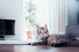 Young fluffy cat lies in living room and looks at the camera. Siberian cat life - 213466608