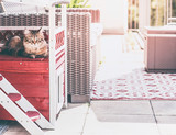 Young fluffy cat lies in cat house on balcony and looks at camera. Siberian cat lifestyle - 213467806