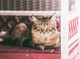Young fluffy cat lies in cat house in outdoor and looks at camera. Siberian cat lifestyle - 213467854