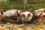ocological pigs from a farm in Denmark - 213476262