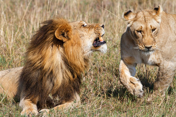 Interaction between a mating couple of lions in the Masai Mara National Park in Kenya