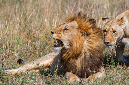 Fototapeta Interaction between a mating couple of lions in the Masai Mara National Park in Kenya