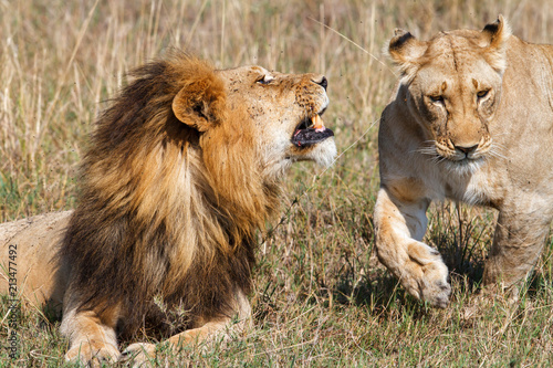 Fotobehang Lion Interaction between a mating couple of lions in the Masai Mara National Park in Kenya