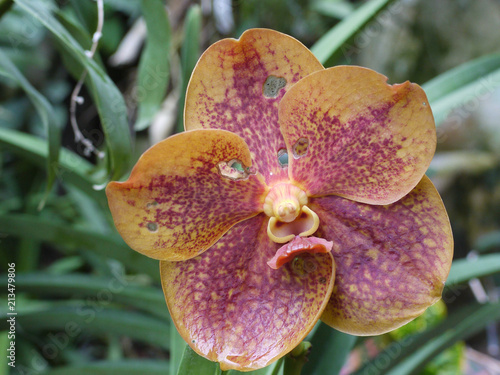 Beautiful two-colored flower petals with small holes eaten by unknown insects. - 213479806