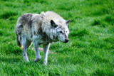Beautiful Timber Wolf Cnis Lupus stalking and eating in forest clearing landscape setting - 213480480