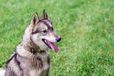 Portrait of gray husky (Laika) in profile on green blurry background. Dog on nature in rainy weather_ - 213491634
